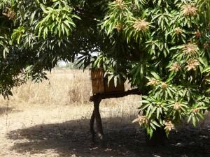 Ruche sous le manguier - Saboya